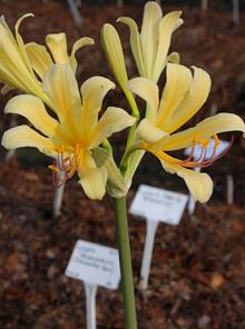 Lycoris longituba 'Butterfingers'
