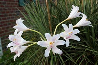 Lycoris longituba PDN007