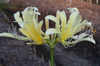 Lycoris x caldwellii PDN #07