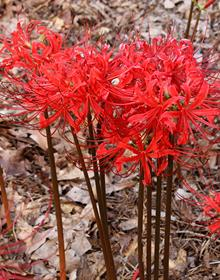 Lycoris radiata var. radiata 'Fire Engine'