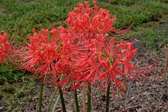 Lycoris radiata 'Louisiana Lately'