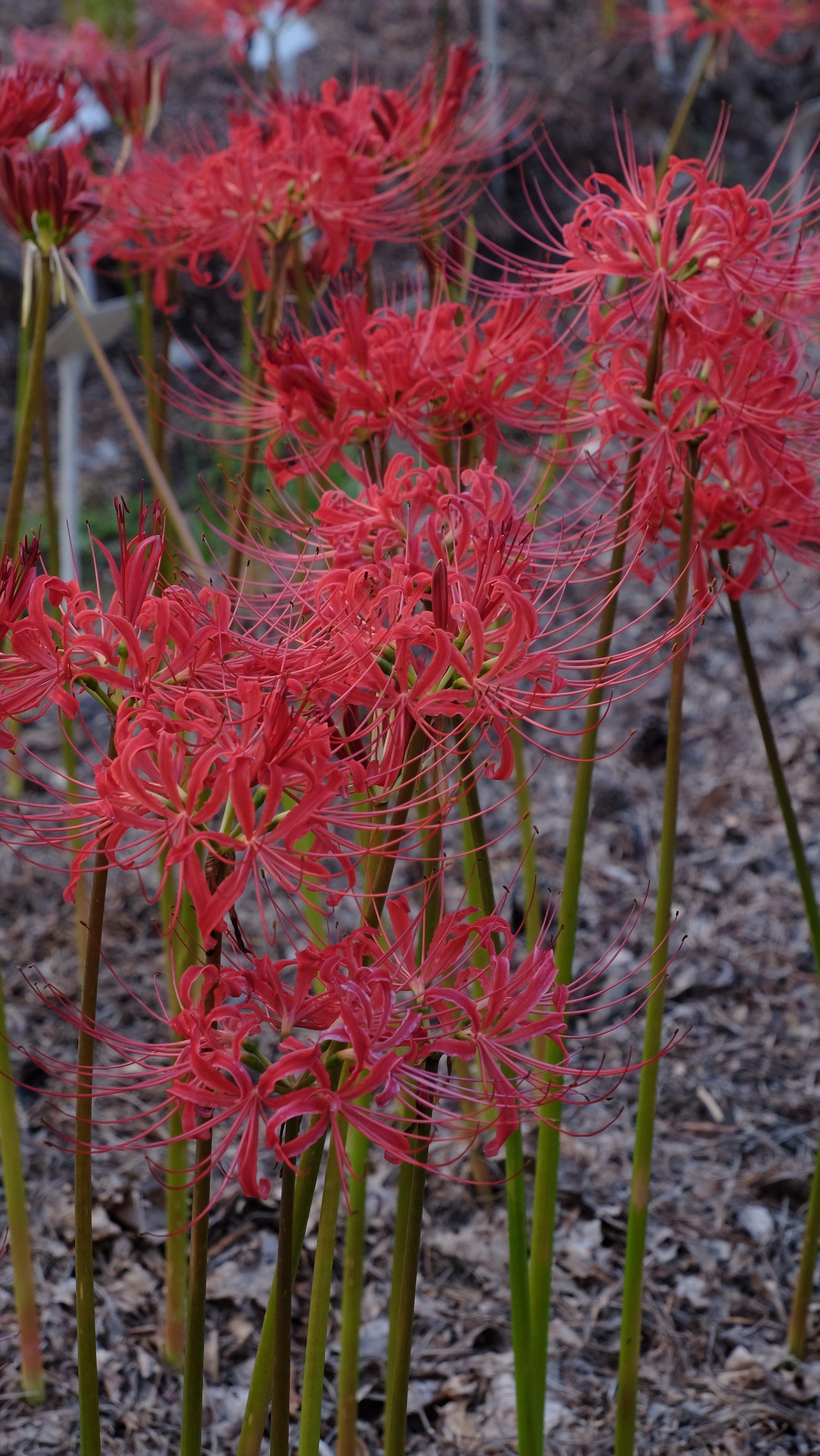 Lycoris radiata var. radiata 'Modern Japanese' @ JLBG - a typically imported selection from Japan, named by Phil Adams to distinguish it from other selections