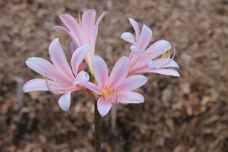 Lycoris sprengeri 'Hayward' PDN003