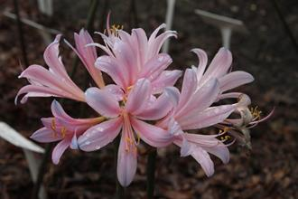 Lycoris sprengeri 'Hayward' PDN005