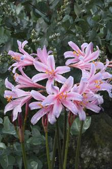 Lycoris sprengeri PDN006