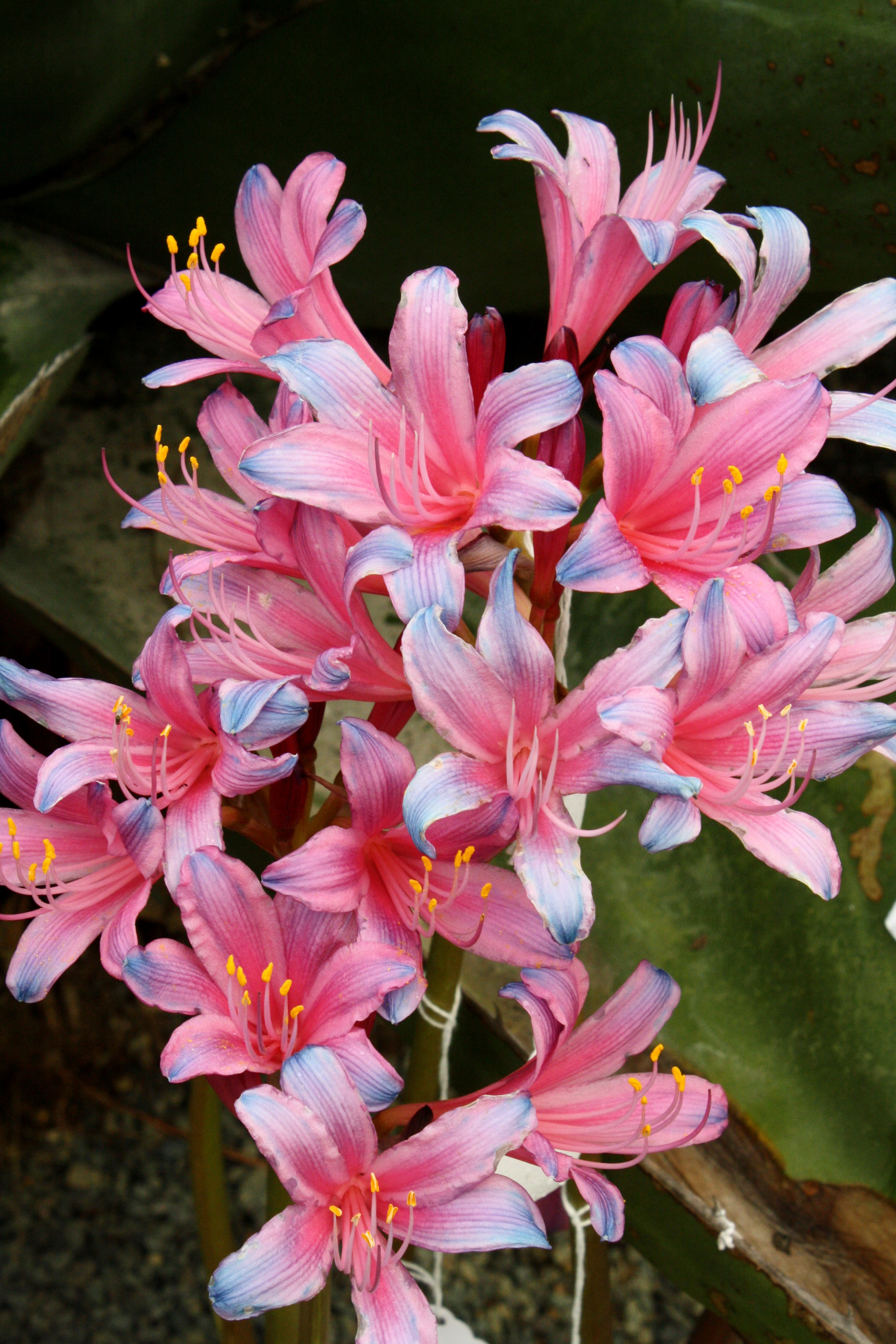 Lycoris sprengeri PDN008 @ JLBG an unnamed selection from bulbs imported from a Chinese nursery