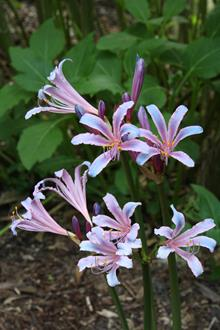 Lycoris sprengeri PDN015