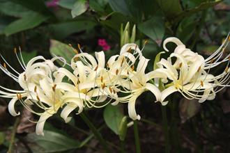 Lycoris x albiflora 'Aunt Nolie's Pale Yellow'
