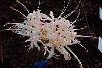 Lycoris x albiflora 'Big Pink'