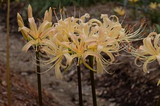 Lycoris x albiflora 'Dawn'