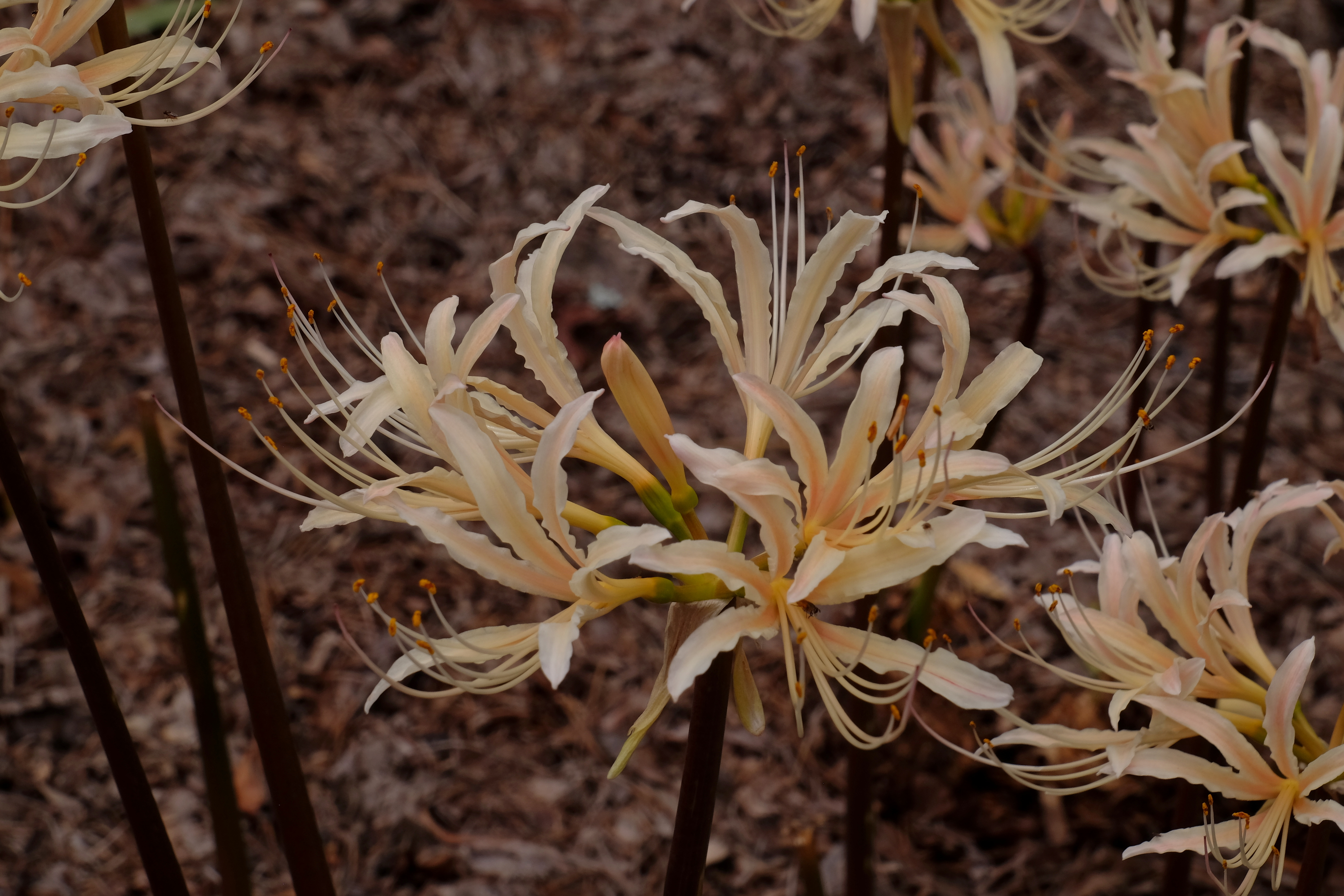 Lycoris x albiflora 'Dorman' @ JLBG - A passalong form of the hybrid of Lycoris aurea x radiata grown by plantswoman Caroline Dorman