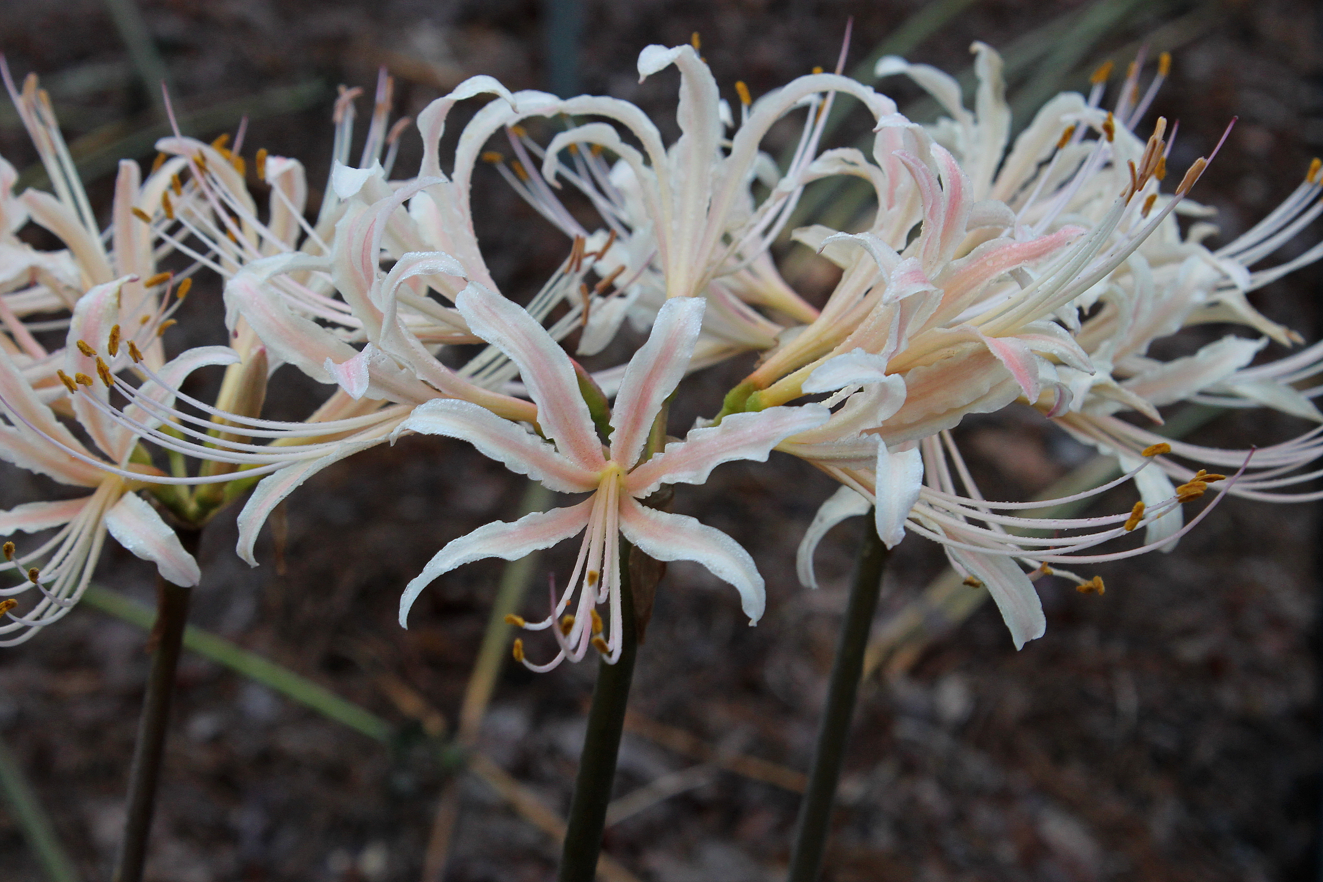 Lycoris x albiflora 'Fall Festival' (aka: PDN015) @ JLBG - A Phil Adams hybrid of Lycoris aurea x radiata, named by JLBG/PDN - maturing flower color