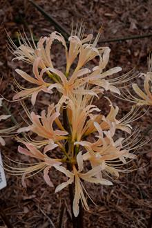 Lycoris x albiflora 'Fall Festival'