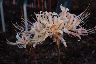 Lycoris x albiflora 'Autumnal Streaker'