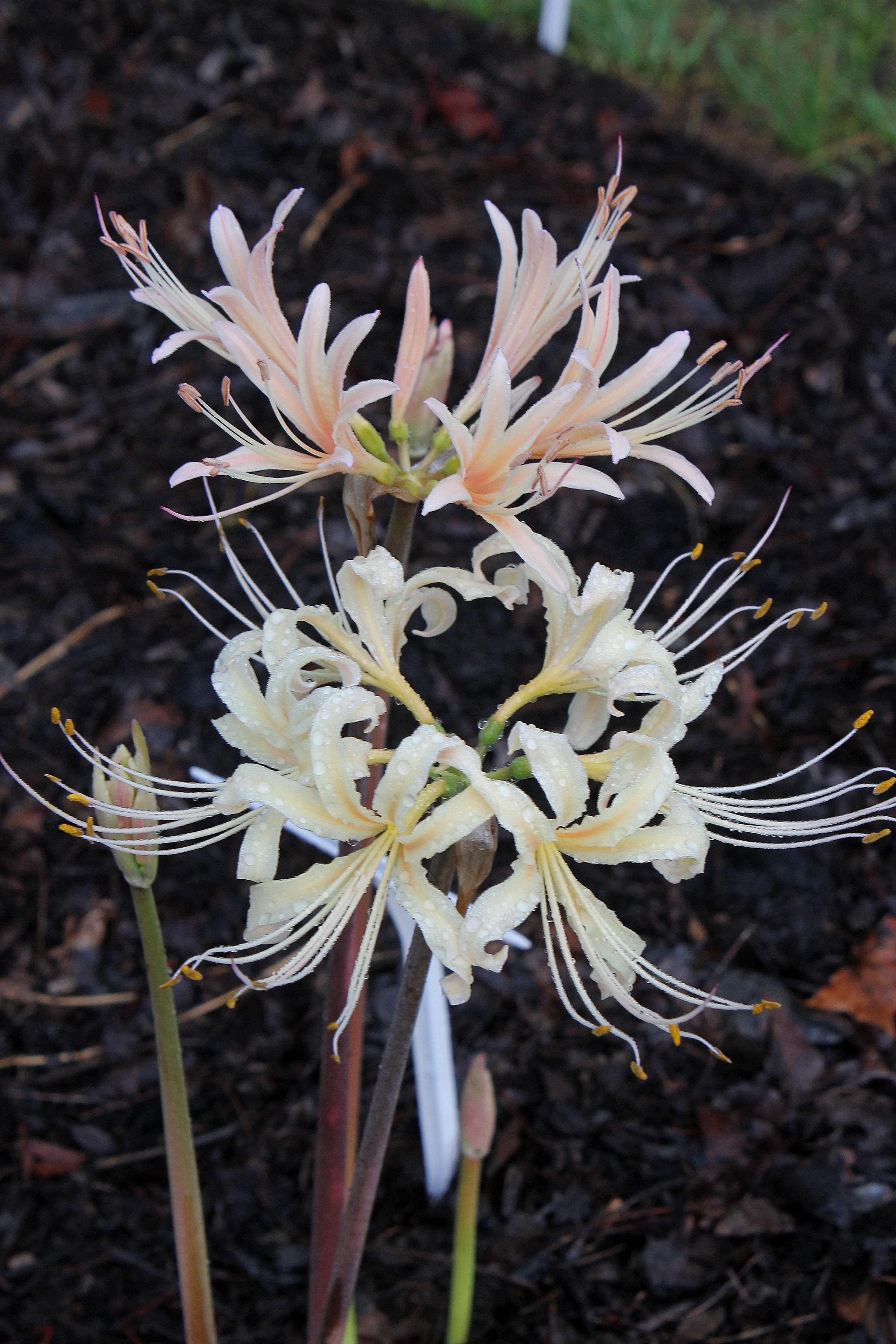 Lycoris x albiflora 'Gridlian' foliage @ JLBG (aka: Lycoris x albiflora Jimmy Gridlian's Oakhurst clone) - a hybrid of Lycoris aurea x radiata