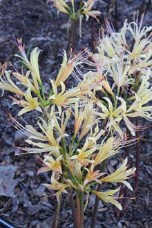 Lycoris x albiflora 'Glenn Dale Butternut'