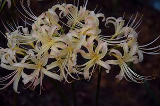Lycoris x albiflora 'Glenn Dale Sunshine'