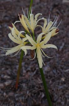 Lycoris x albiflora 'Harvest Moon'