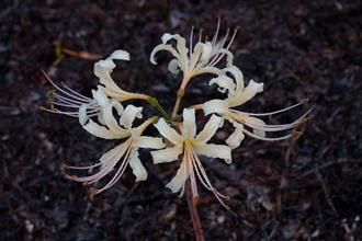 Lycoris x albiflora 'Marshall's Fertile'