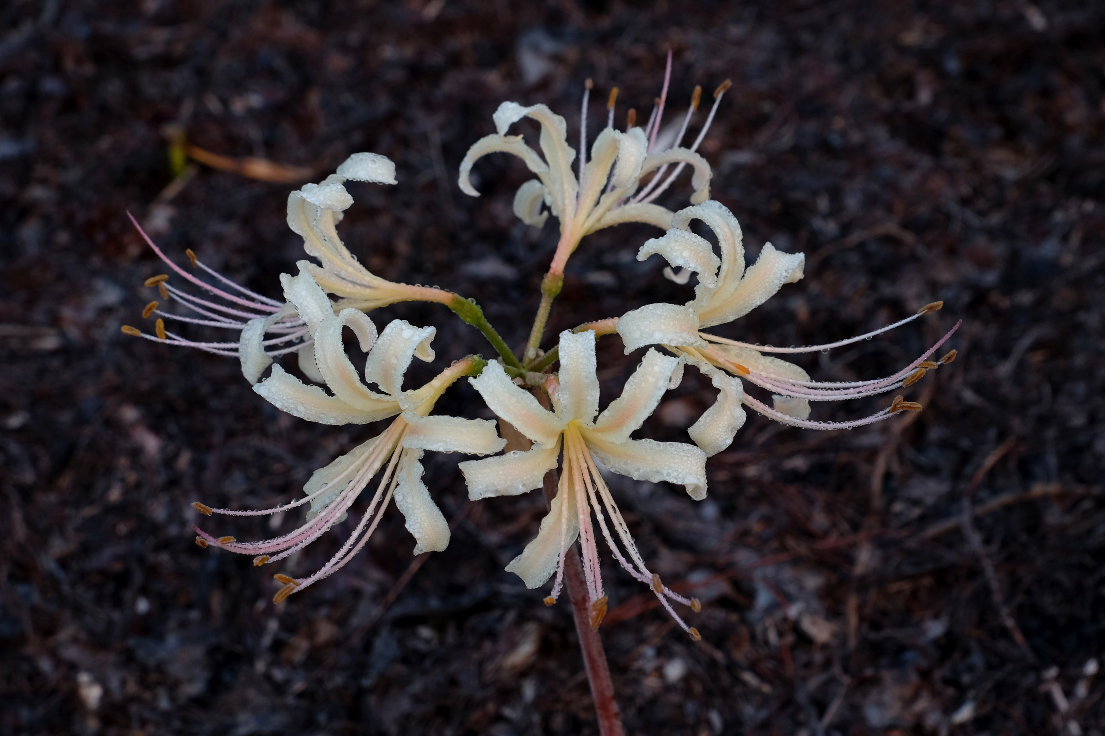 Lycoris x albiflora 'Marshall's Fertile' @ JLBG - a Betty Marshall hybrid of Lycoris aurea x radiata - named by Adams