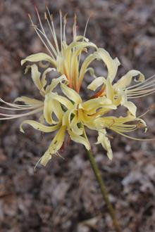 Lycoris x albiflora 'Melon Collie'