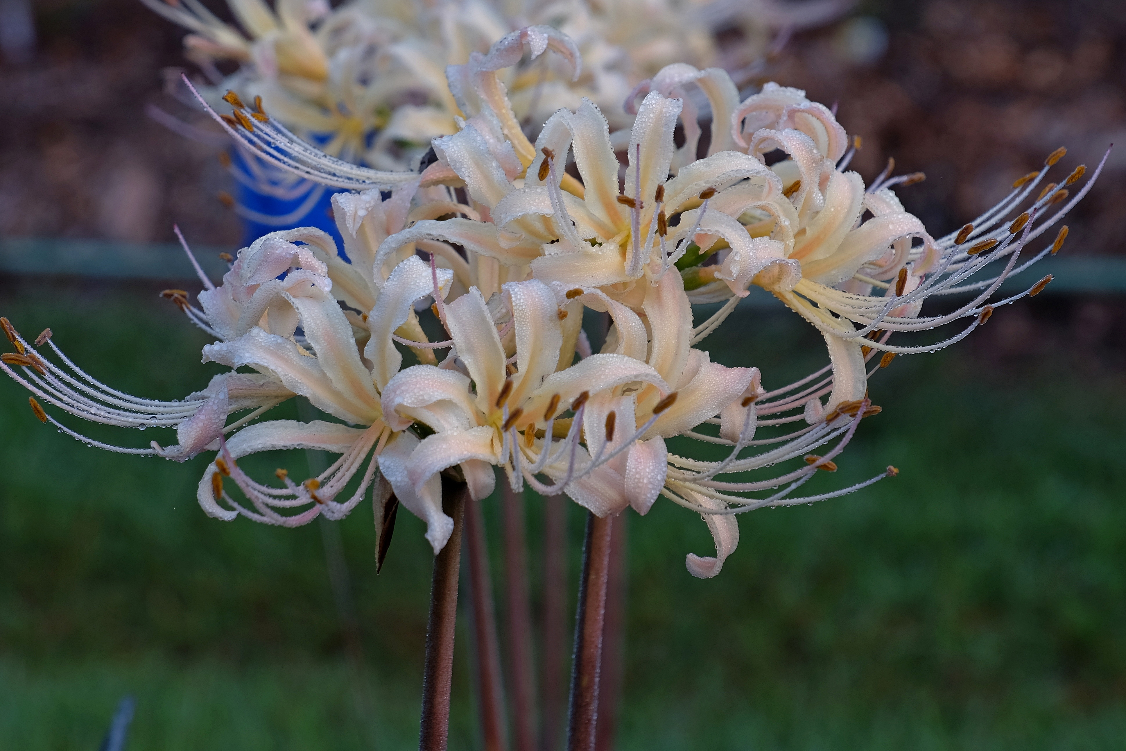 Lycoris x albiflora 'Phil's Gold' @ JLBG - a Phil Adams hybrid of Lycoris aurea x radiata - named by JLBG/PDN