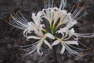 Lycoris x albiflora 'Salmon'