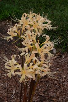 Lycoris x albiflora 'Straw Pole'