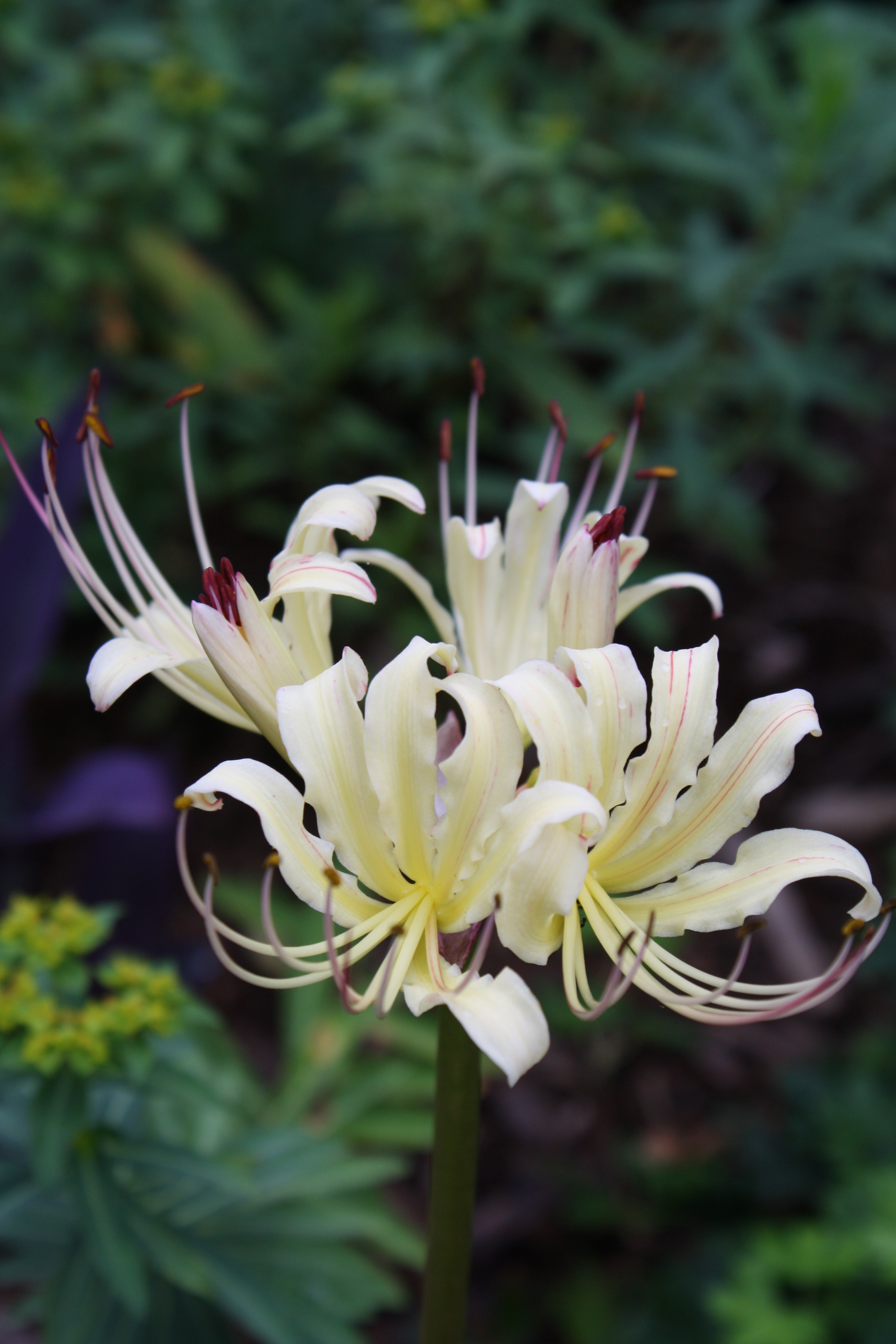 Lycoris x albiflora 'Summer Passion' @ JLBG - a selection of a Chinese import by Frank Galloway of a hybrid of Lycoris aurea x radiata var. pumila - named by JLBG/PDN