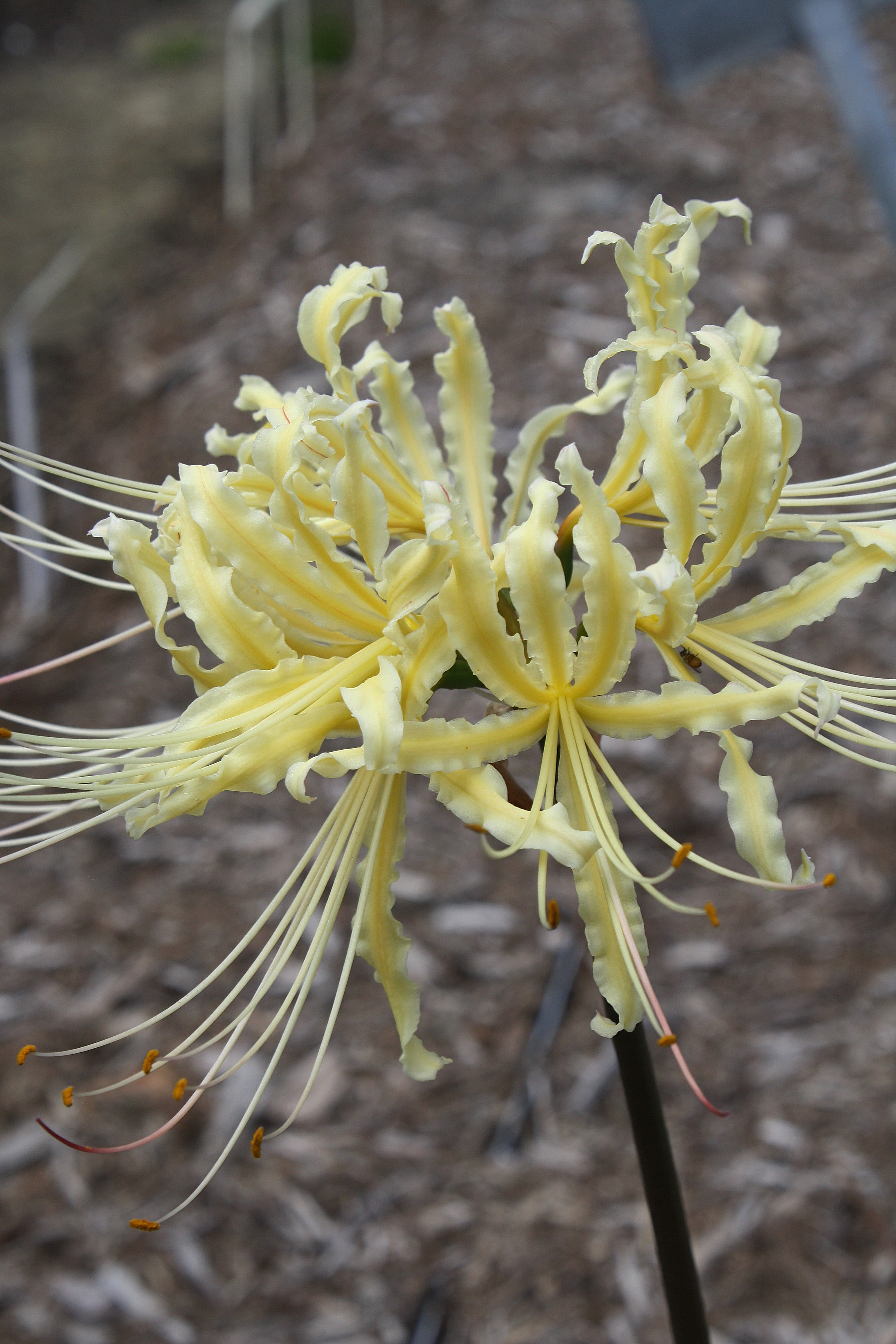 Lycoris x straminea 'Yellow Streamers' @ JLBG - a PDN/JLBG selection of a hybrid of Lycoris radiata var. pumila x chinensis from a Chinese Nursery bulb import