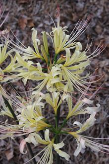 Lycoris x albiflora 'Yellow Swallowtail'
