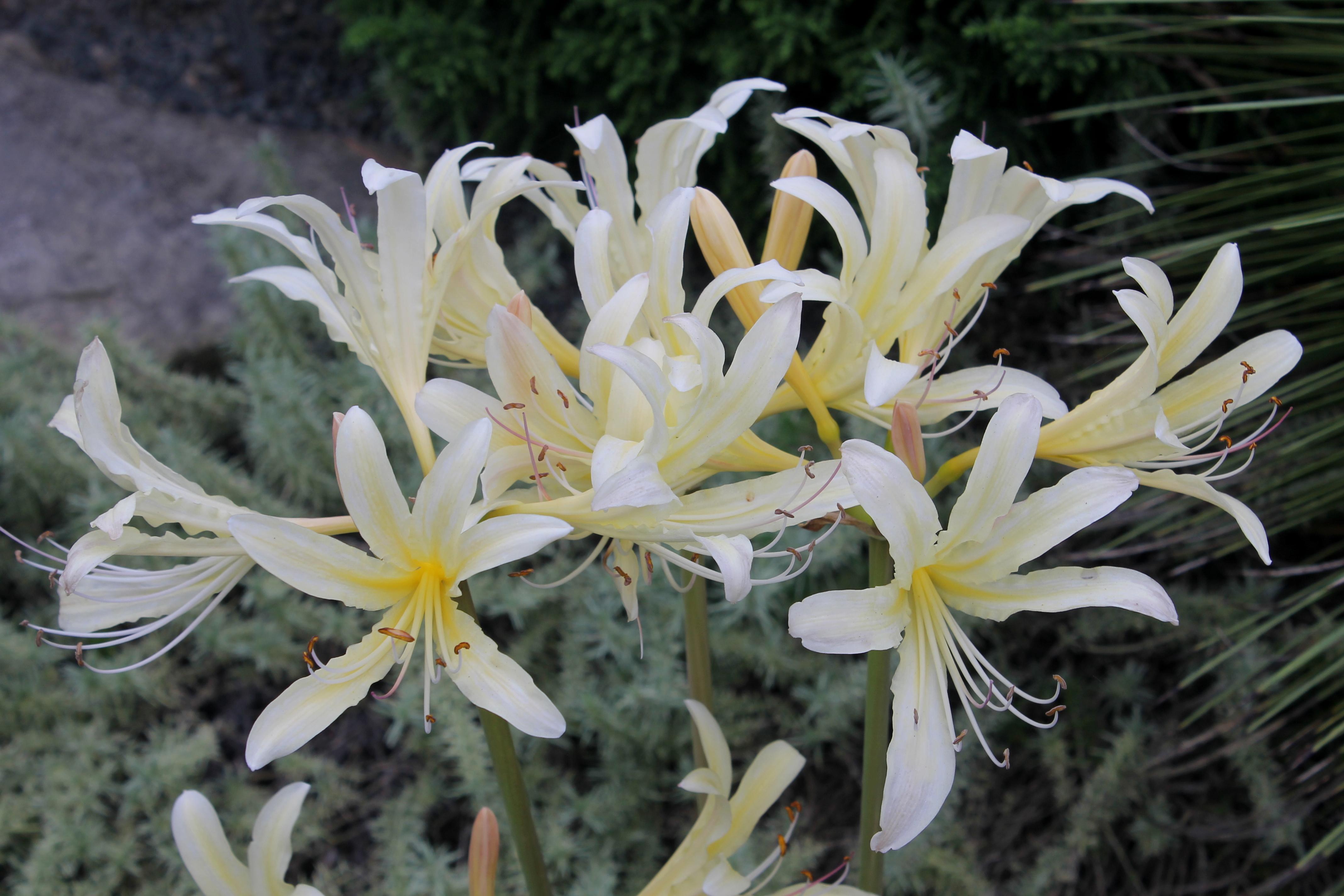 Lycoris x caldwellii 'Sky over Sky' @ JLBG - a hybrid of Lycoris chinensis x longituba
