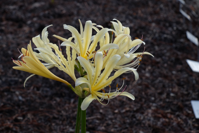 Lycoris x caldwellii PDN006 @ JLBG; a hybrid of Lycoris chinensis x longituba
