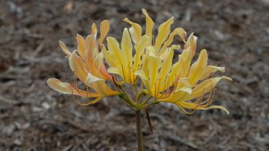 Lycoris x flavescens 'Goldflame'