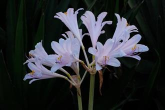 Lycoris x incarnata 'Viewing Fish at Jade Fountain'