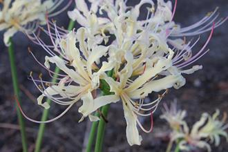 Lycoris x rosaurea 'Regalia'