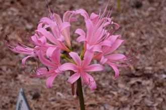Lycoris x rosea 'Blink Pink'