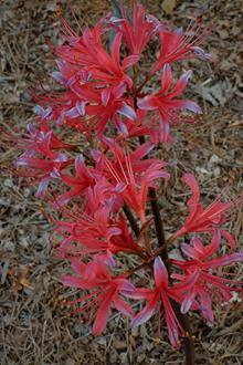 Lycoris x rosea 'Cardinal's Robe'
