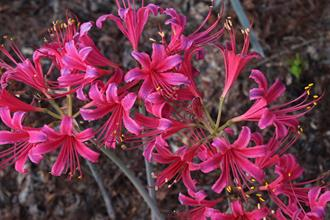 Lycoris x rosea 'Cherry Chief'