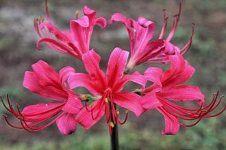 Lycoris x rosea 'Cherry Crush'