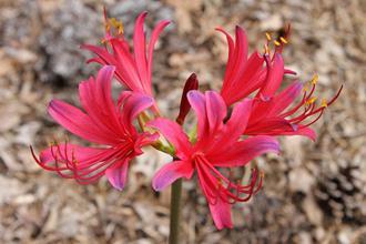 Lycoris x rosea 'Cranberry Charm'