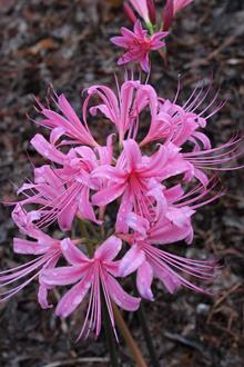 Lycoris x rosea 'Easter Bonnet'