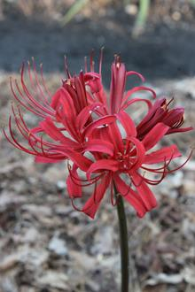 Lycoris x rosea 'Flame'