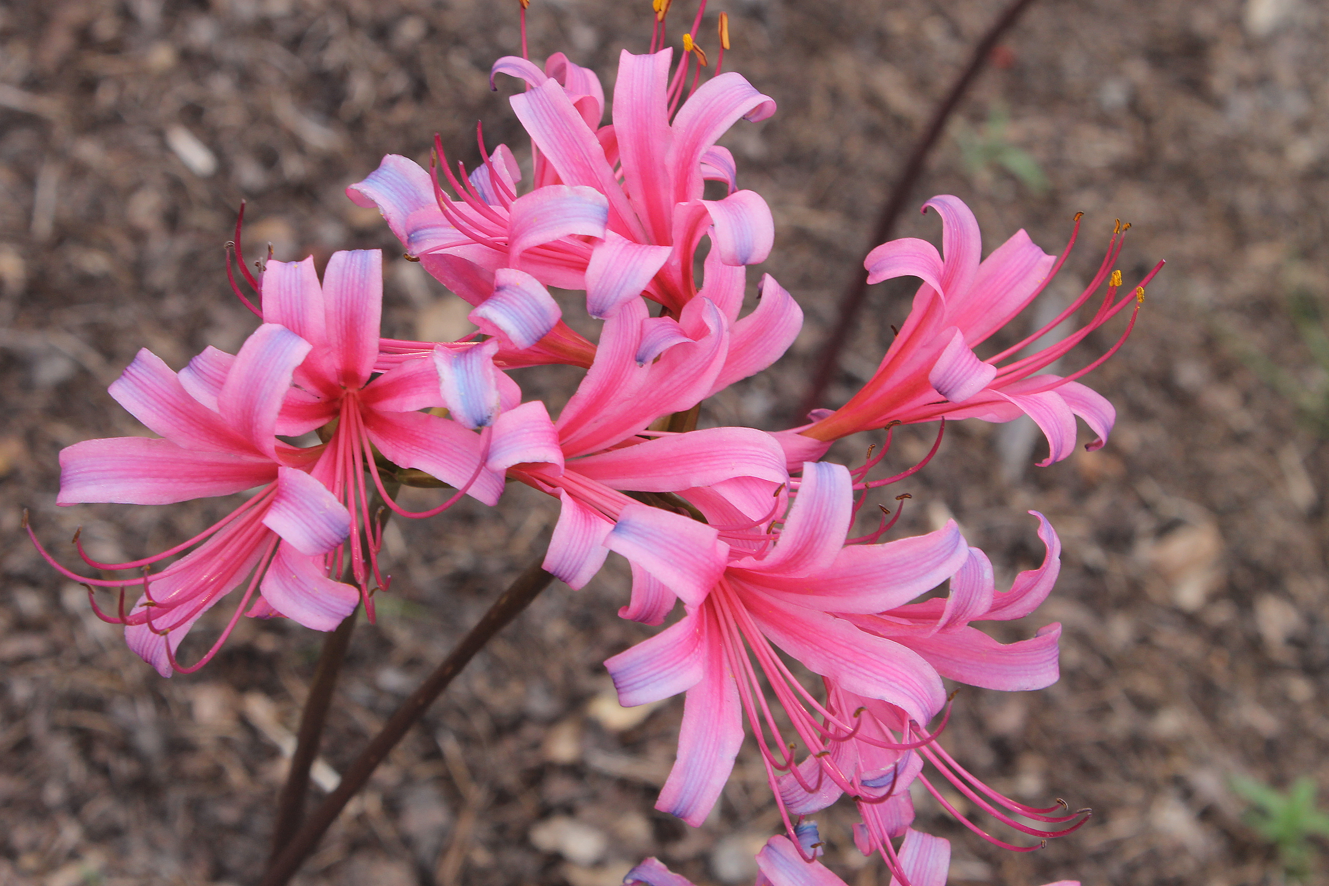 Lycoris x rosea 'Flamenco Dancer' @ JLBG - a Phil Adams fertile hybrid of Lycoris radiata var. pumila x sprengeri, named by JLBG/PDN