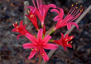 Lycoris x rosea 'Flash Dance'