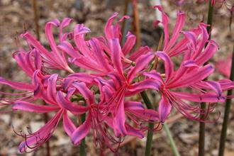 Lycoris x rosea 'Glenn Dale Cherry Cheeks'
