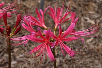 Lycoris x rosea 'Glenn Dale Rosy Blues'