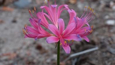 Lycoris x rosea 'Hazuki Elegance'