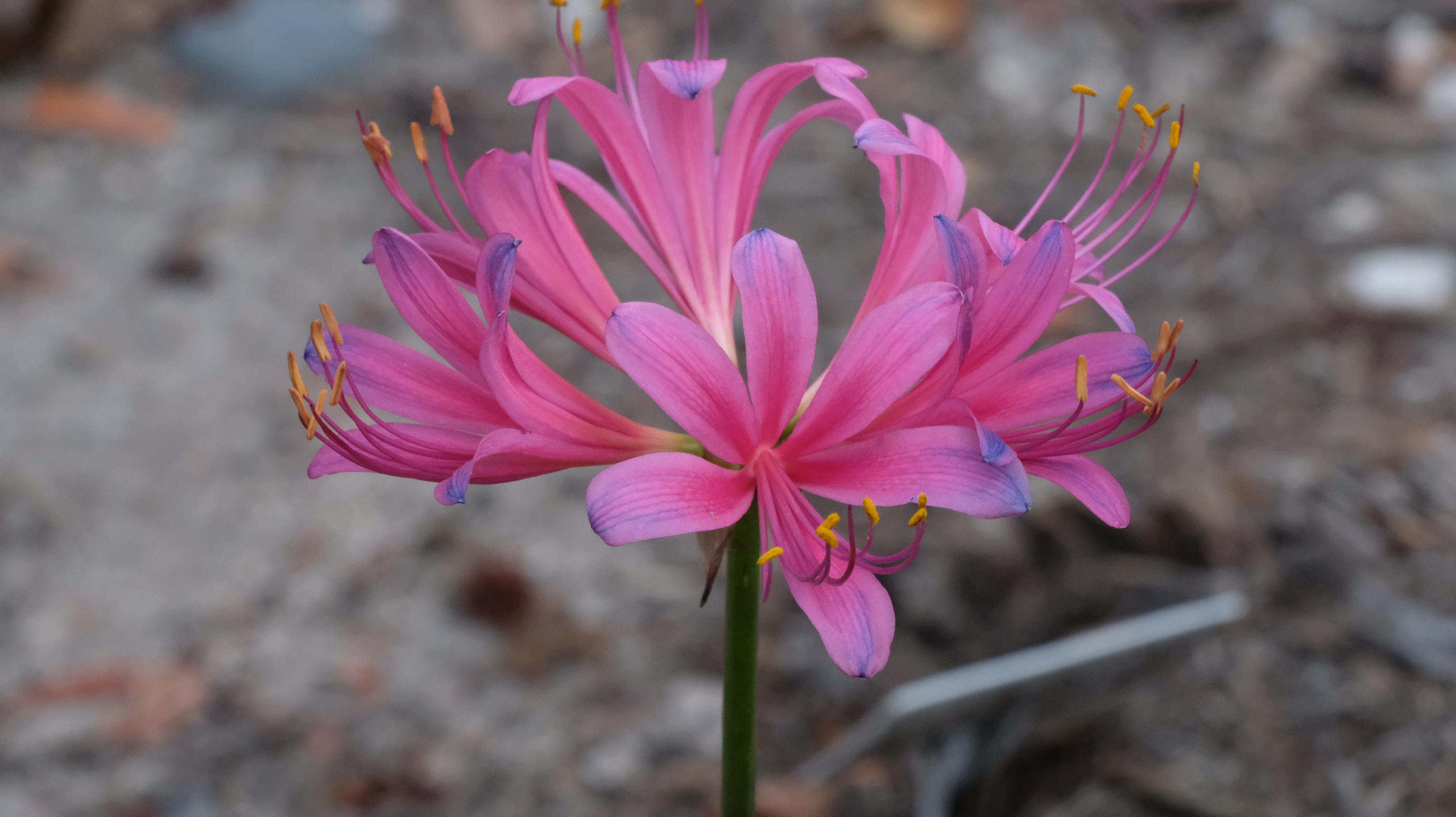Lycoris x rosea 'Hazuki Elegance' @ JLBG - a Komoriya hybrid