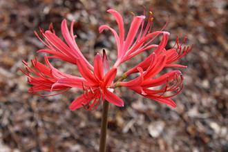 Lycoris x rosea 'Matchsticks'